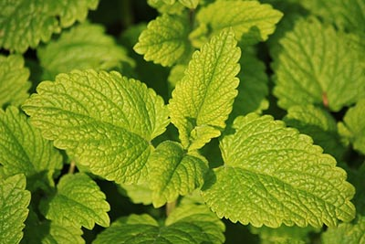 Lemon Balm Oil for IBS & IBD
