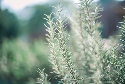Rosemary Oil for IBS & IBD