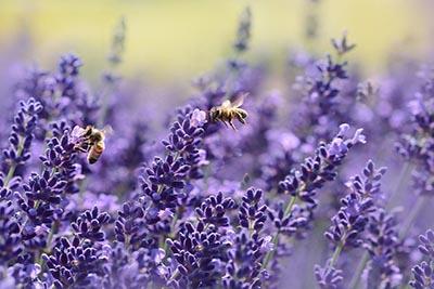 Lavender Oil for IBS & IBD