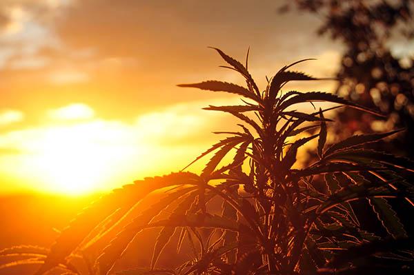 cannabis oil for irritable bowel syndrome