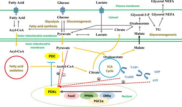 Metabolic flexibility and depression