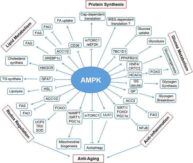 AMPK Activation Improves Metabolic Flexibility
