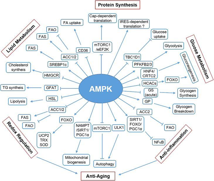 AMPK Activation Improves Metabolic Flexibility