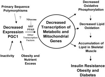 Fat and insulin resistance