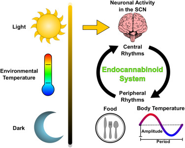 Cannabis and body clock